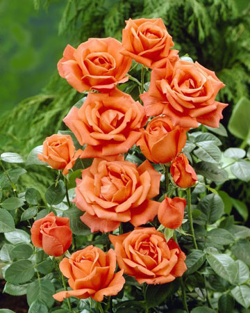 Rose bush nursery thenurseries - When to plant roses ...